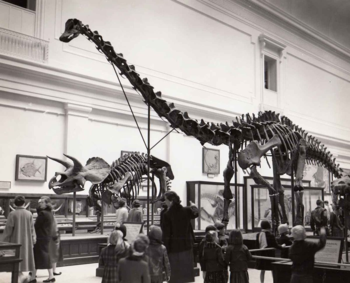 1940's photo of Diplodocus in the fossil exhibits.