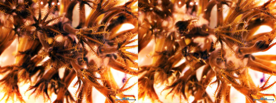 The octocoral Plexaura sp. prior to (LEFT) and after (RIGHT) feeding on brine shrimp. Note the closed up tentacles on some of the polyps that have captured prey.