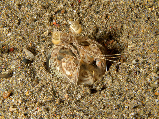 Spearing mantis shrimp (Lysiosquilla tredecimdentata) (photo credit Nick Hobgood, Wikipedia)