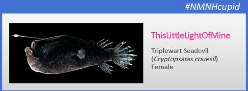 Triplewart Seadevil