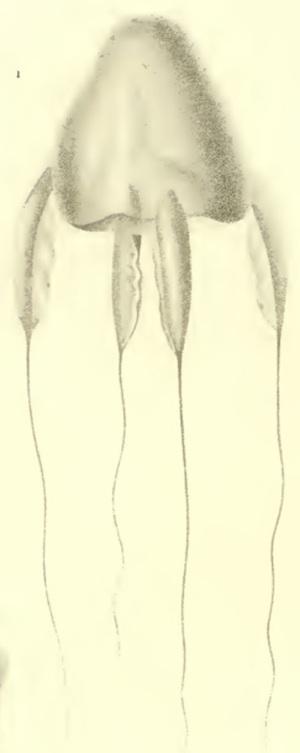 Fig. 1. Dibujos de líneas de Alatina alata (Reynaud, 1830) reproducidos de la ilustración original por Prêtre en el libro de Lesson de 1830, Centurie Zoologique1.