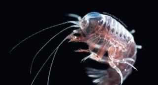Hyperiid amphipod in the genus Phronimopsis (Photo credit: Dr. Karen Osborne)
