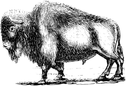 Late 19th century woodcut of a buffalo