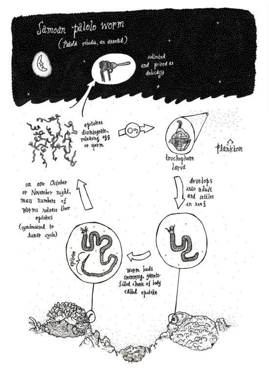 Diagram of the Palolo worm life cycle (Photo credit: Dakuhippo, Wikimeida)