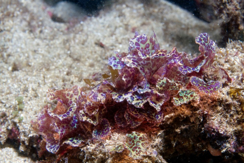 Galeta is the type locality for several species, including the rare Augophyllum wysorii. (photo by Hector Ruiz)
