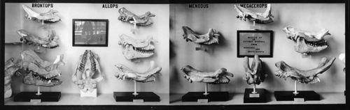 Titanothere skulls 2