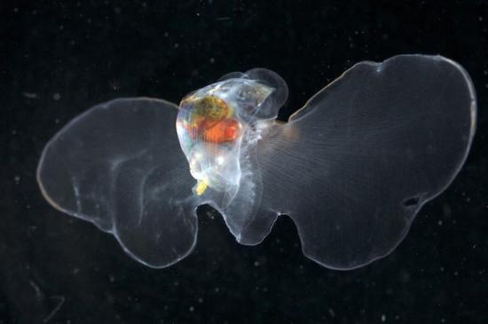 Vista dorsal de una nueva especie de pterópodo pseudothecosomo del Pacífico Norte.