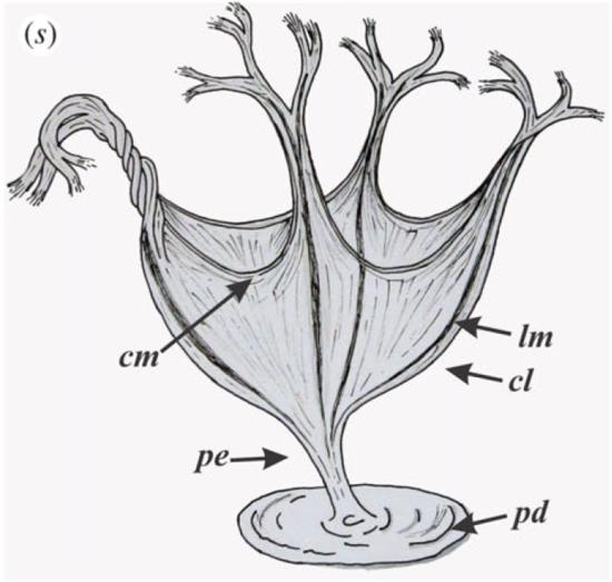 Reconstruction of Haootia quadriformis by Miranda et al. 2015.