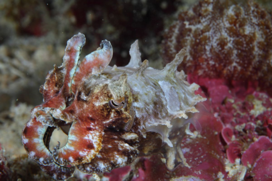Disruptive camouflage exhibited by a cuttlefish. (Credit: Klaus Stiefel; Resolution reduced)