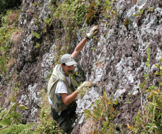 Conservation biologist Jean-Yves Meyer climbing a volcanic cliff with a specimen of Bidens meyeri in his teeth. This plant is known from only a few specimens found on this cliff on the South Pacific island of Rapa. The plant was named in Meyer's honor. (Photo by R. Englund, taken 16 Dec 2002)