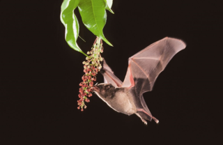 Nectar-feeding bat Glossophaga soricina visiting flowers of Mabea occidentalis (Euphoribaceae).  (Photo by Merlin D. Tuttle, Bat Conservation International)