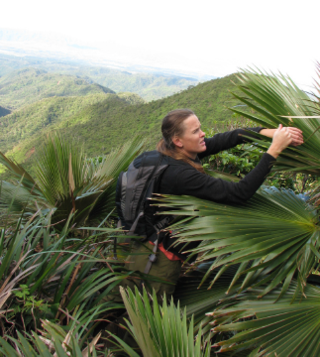 Christine Bacon collecting Pritchardia martii in the Koolau Mountains of Hawaii