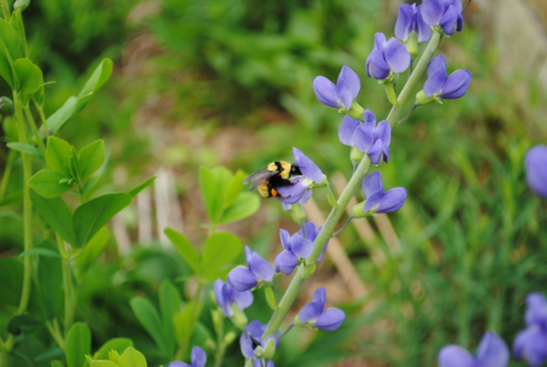 Bumblebee on Baptisia. Photo: Erin Kolski