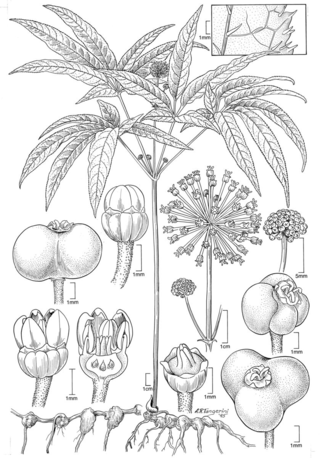 Panax wangianus.  Illustration by Alice Tangerini