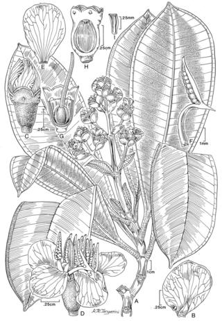 Graffenrieda irwinii.  Illustration by Alice Tangerini