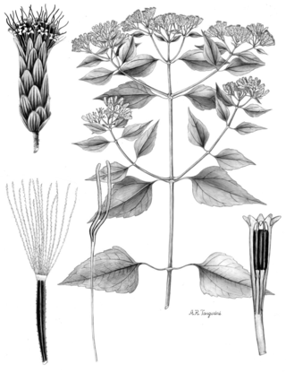 Chromolaena odorata.  Illustration by Alice Tangerini