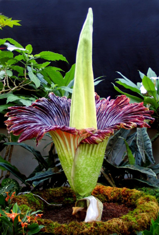 The glorious Amorphophallus titanum at maximum opening on 20 November, 2005 (Photo by G. Sword, US Botanic Garden)