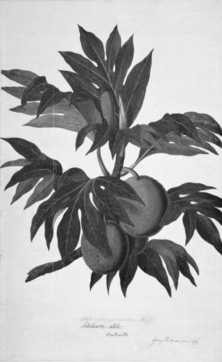 """""""Artocarpus altilis"""" from the Society Islands by John Frederick Miller, from Captain James Cook's first Pacific voyage (1768-1771) © The Natural History Museum, London"""