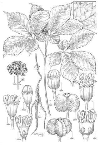 Panax quinquefolius.  Illustration by Alice Tangerini