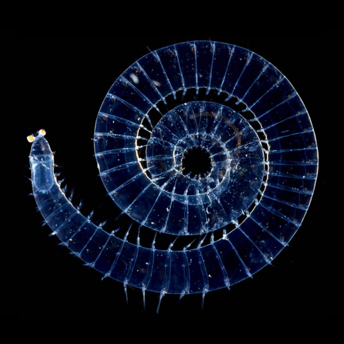 Pelagic worm in the family Alciopidae (Photo: A. Collins, Bonaire). Polychaete worms come in an amazing array of sizes and shapes.