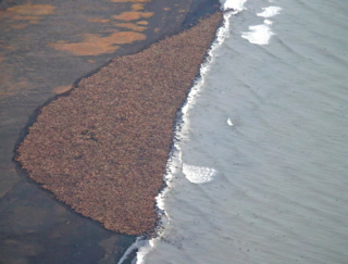 Crashes-Walrus_NOAA