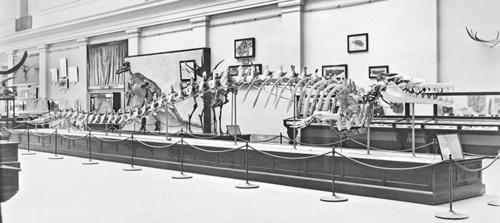 Basilosaurus cetoides MNH-28533