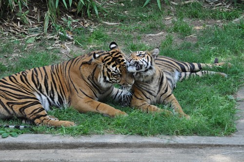 tigers.nationalzoo