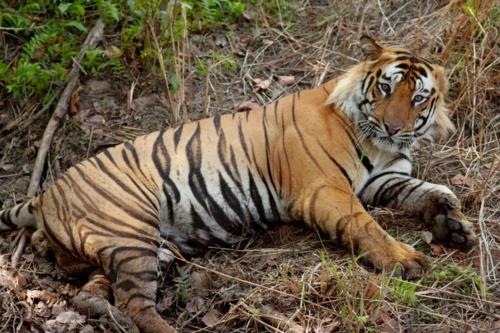 Tigerpost.4