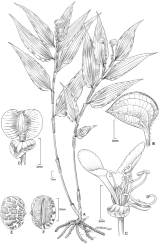 Commelina disperma, Illustration by Alice Tangerini