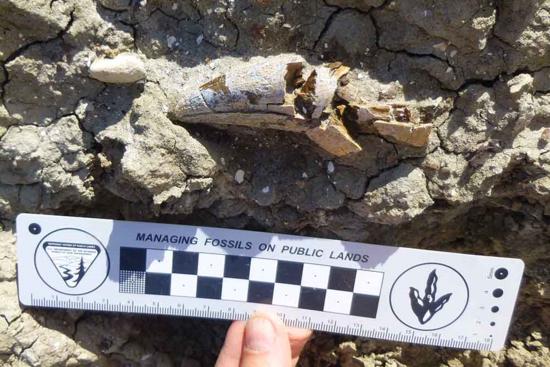 tyrannosaurid tooth
