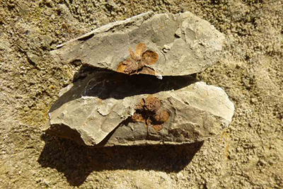 fossil seed pod