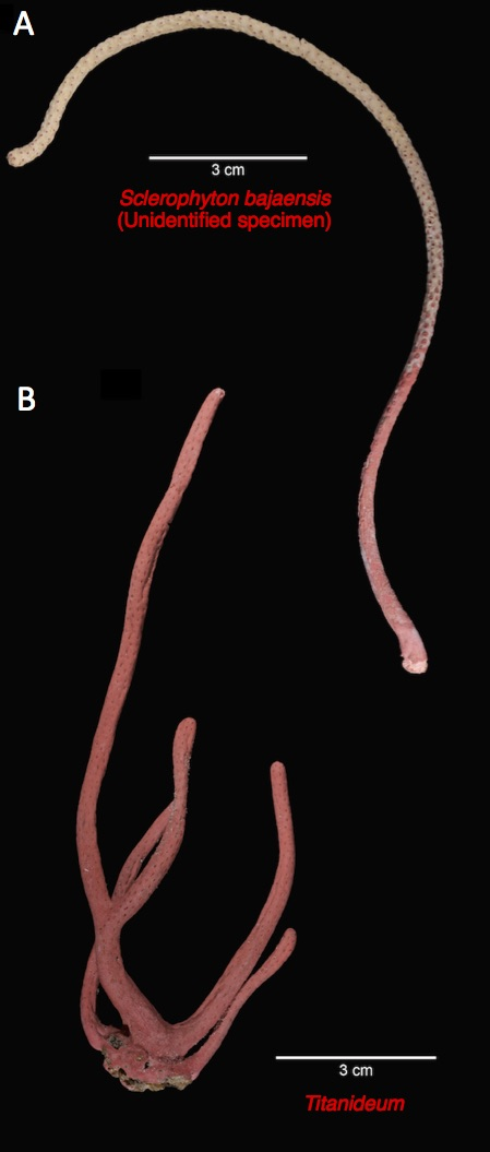 Figure 2. Sclerophyton bajaensis (the unidentified specimen) (A) looks very similar to a common gorgonian octocoral, Titanideum, from the Atlantic (B).  Several branches of the S. bajaensis specimen were covered with a symbiotic sponge in various places, which gives a few of its branches a tan coloration (see Figure 1 also).