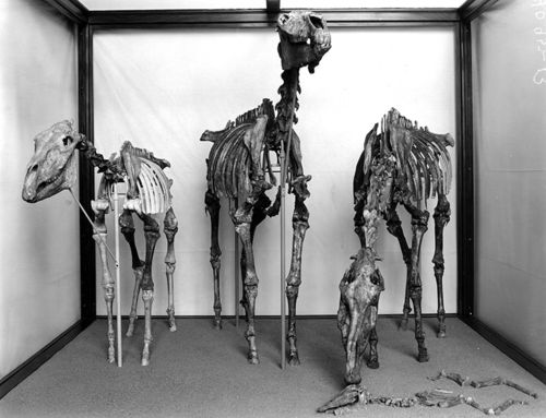 exhibit specimens of the Hagerman horses