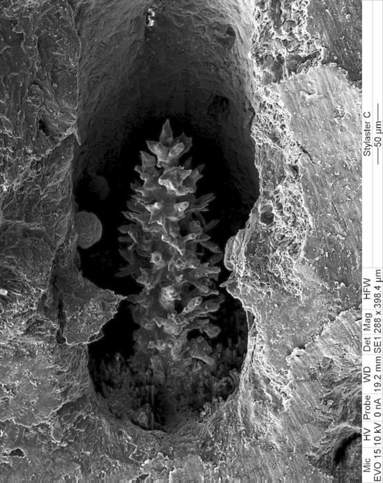Fig. 2. A gastrostyle (SEM, magnification x288).