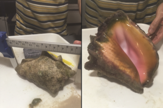 Two images of queen conch shell