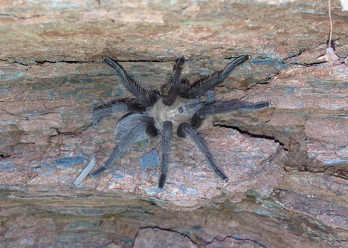 a Tarantula rests on the quarry wall