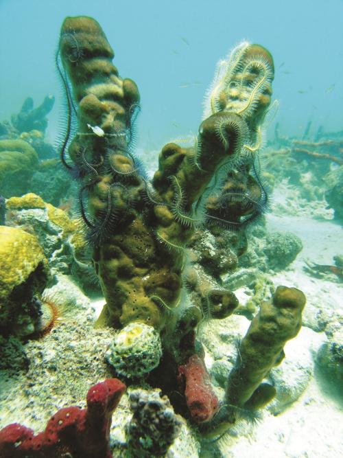Sponge-BOCAS