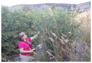 Dr. Ashley Egan investigating Colutea arborescens, a newly introduced species to Utah, Ephraim Canyon.