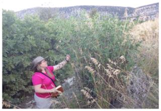 Dr. Ashley Egan investigating Colutea arborescens, a newly introduced species to Utah, Ephraim Canyon.