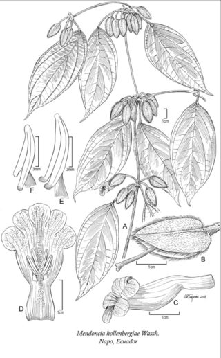 Mendoncia hollenbergiae