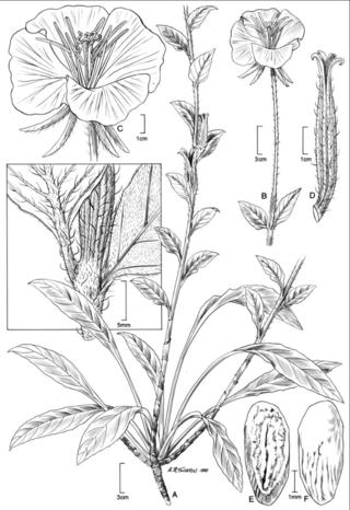 Oenothera riskindii W.L. Wagner