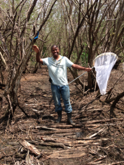 Delano Lewis, a Jamaican entomologist, uses the sweep net to sample arthropods from higher up in the forest canopy.