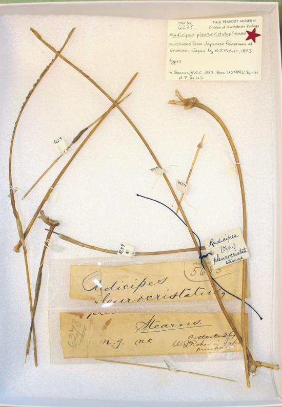 Radicipes pleurocristatus.jpg