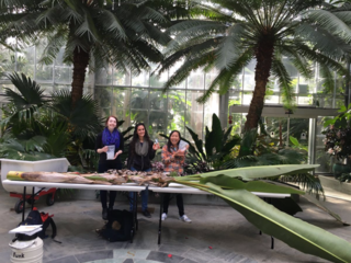 GGI–Gardens interns (from left) Kathryn Faulconer, Maryam Sedaghatpour, and Samantha Vo with a specimen of Musa textillis Née collected for GGI–Gardens at the U.S. Botanic Garden, January 29, 2016. (photo by Morgan Gostel)