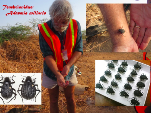 The Darkling Beetles, a family with more than 20,000 species known worldwide, are a dominant part of the insect fauna in desert regions, and the specialty group of study for Warren Steiner of the Smithsonian Department of Entomology. These flightless Adesmia were conspicuous and common on and around Camp Lemonnier, and active during the day. (Photo collage: W. Steiner)