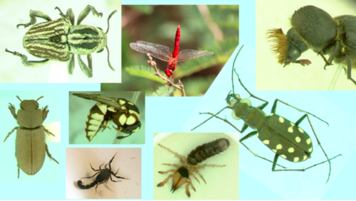 Collected by a variety of sampling techniques and traps, thousands of Djibouti insects and arachnids still await study by many specialists. Based on studies of target taxa so far, nearly all represent new additions to the Smithsonian collections. Ectoparasites were also collected from the many vertebrate specimens and may shed light on local disease vectors. (Photo collage: W. Steiner)
