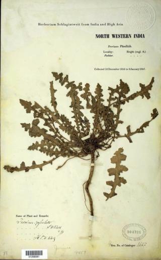 A typical Herbarium Schlagintweit specimen in the U.S. National Herbarium.