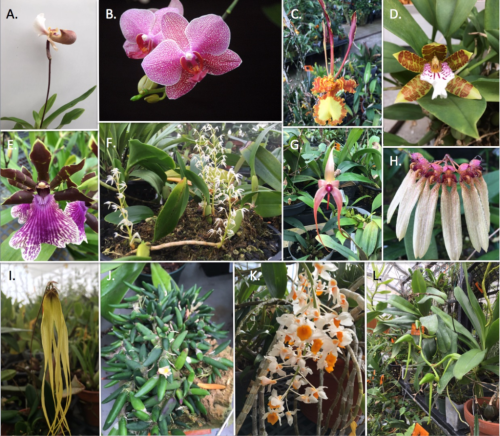 Assorted diversity of some representative orchid genera. (A) Paphiopedilum spiceranum (B) Phalaenopsis sp. hybrid (C) Psychopsis mariposa (D) Trichopilia sanguinolenta (E) Zygopetalum maculatum (F) Bulbophyllum compressum (G) B. echinolabium (H) B. flabellum-veneris (I) B. thiurum (J) Dendrobium thyrsiflorum (K) D. rigida (L) Angraecum sesquipedale. Photo credits M. Gostel (A, C, D, E, F, G, H, I, J, K) and SI Gardens (B).