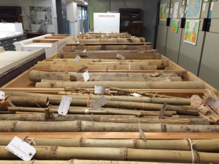 Bamboo specimens sit in swing space as they await their move to new metal herbarium cases. (photo by Amanda Grusz)