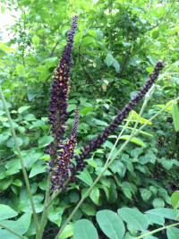 Amorpha fruticosa was observed at Dyke Marsh Wildlife Preserve in Virginia during the 2016 National BioBlitz. (photo by Nancy Khan)